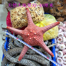 1pcs Huge Starfish Craft Decoration Natural Sea Stars DIY Beach Cottage Wedding Decor Size 38cm Crafts Drop Shipping