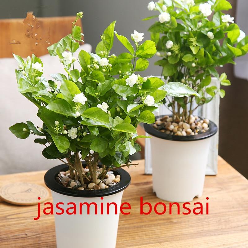 Aromatic Shower Plants