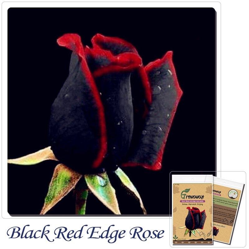 Bonsai Flower seeds 5Rare Amazingly Beautiful Black red edge rose Home Garden DIY new packing - Grow Away Store store