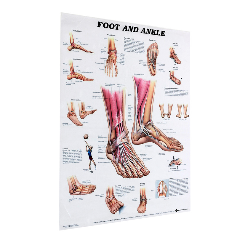 Foot And Ankle Poster Anatomical Muscular And Skeletal Chart For