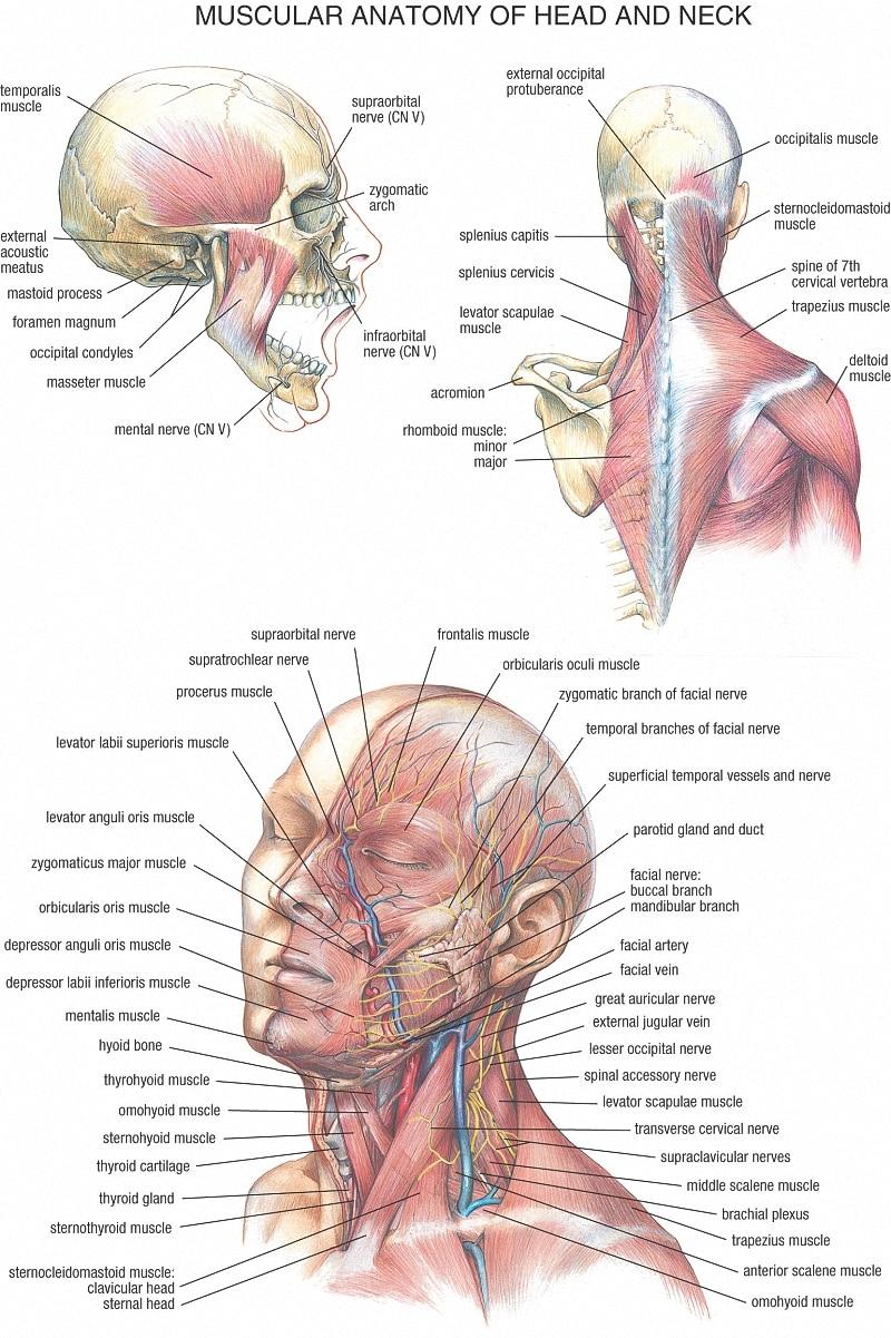 ᓂMedicina vintage Anatomía Humana posters papel Kraft pintura ...