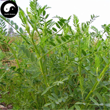 Buy Astragalus Adsurgens Seeds 400pcs Plant Forage Grass Salad Sha Da Wang