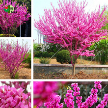 30pcs/bag Bauhinia seeds,Cercis chinensis , bonsai flower seeds,Chinese Redbud tree seeds,Nature potted plants for home garden 10pcs bag bauhinia flower seeds bauhinia tree butterfly tree rare orchid flower tree seeds fresh bauhinia purpurea seeds