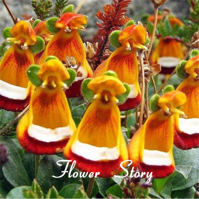 30 calceolaria seeds yellow slipper flower ladys purse slipper 30 calceolaria seeds yellow slipper flower ladys purse slipper flower pocketbook mightylinksfo