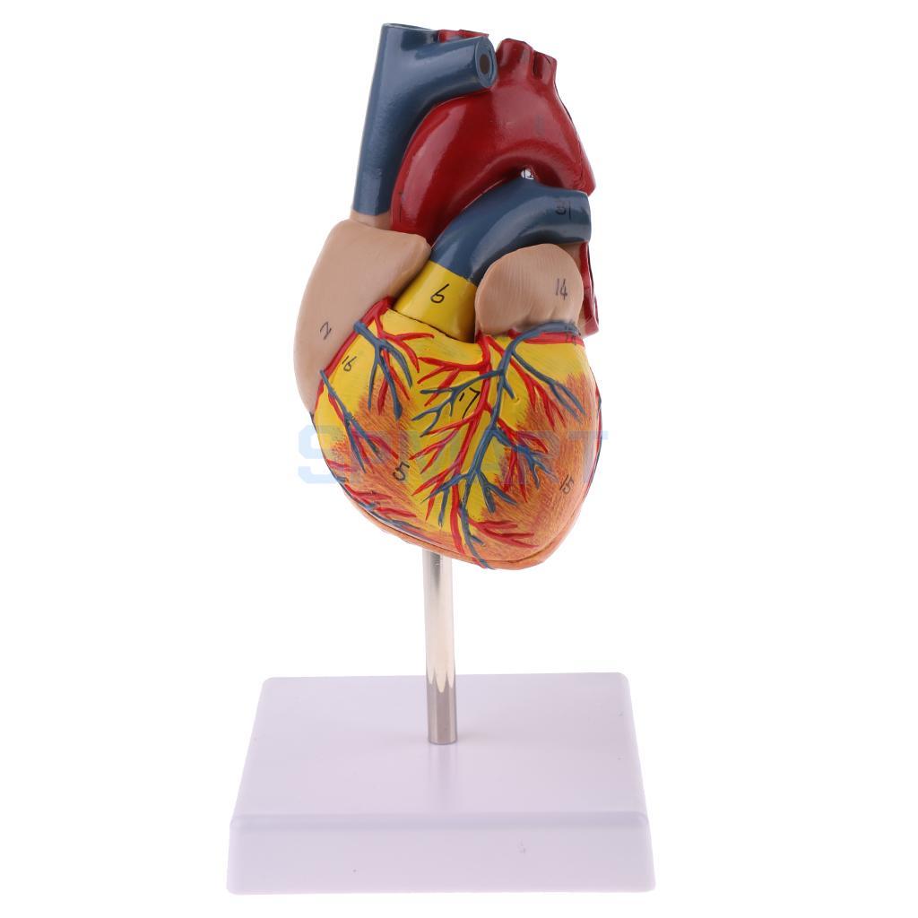 Human Anatomical Heart Model Life Size Detachable 2 Parts Organ