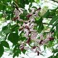 New Home Jardim árvore Neem sementes Em Vasos Bonsai Pátio sementes de árvores florestais Frete Grátis 50 g/pacote