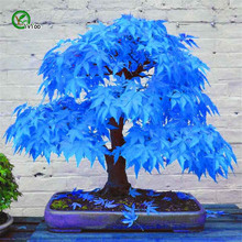 apanese Maple Tree  Bonsai Tree , 30pcs bonsai blue maple tree plants for home garden and Balcony, Easy to Grow the crown maple guide to maple syrup