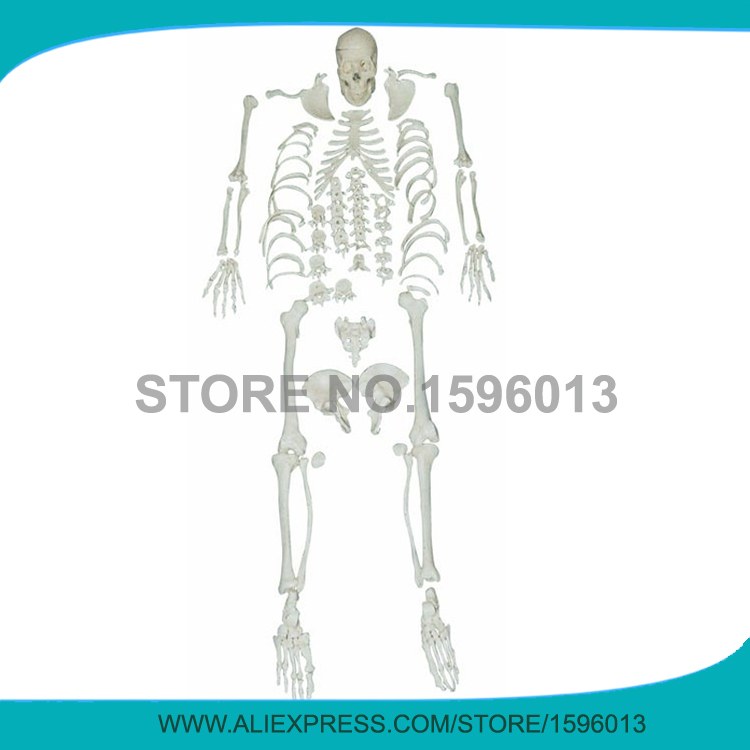 Disarticulated Whole Body Skeleton Model, Disarticulated Skeleton with Skull,Disarticulated Human Body Skeleton model plastic standing human skeleton life size for horror hunted house halloween decoration