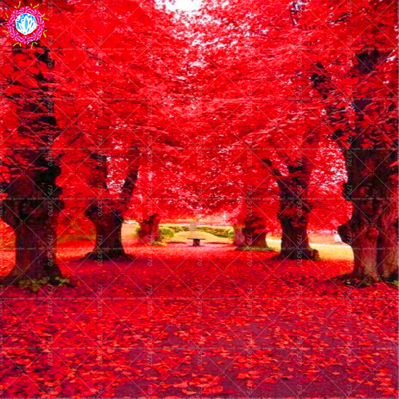 2 stk Amerikansk rød eg Quercus palustris Munchh. smukke DIY hjemmelavet træ, haveplante bonsai træ let at dyrke