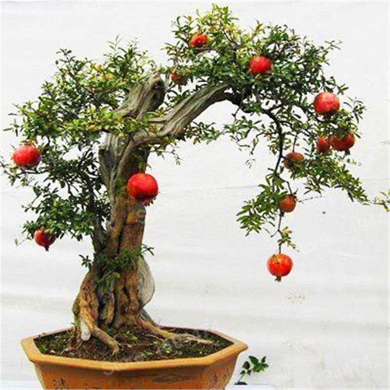 aliexpress  buy pcs pomegranate seeds mini pomegranate, Natural flower