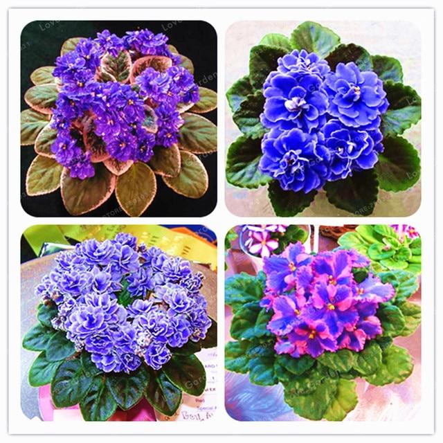 100 Pcs Saintpaulia Ionantha Anlage Schöne Pflanze Bonsai Blume