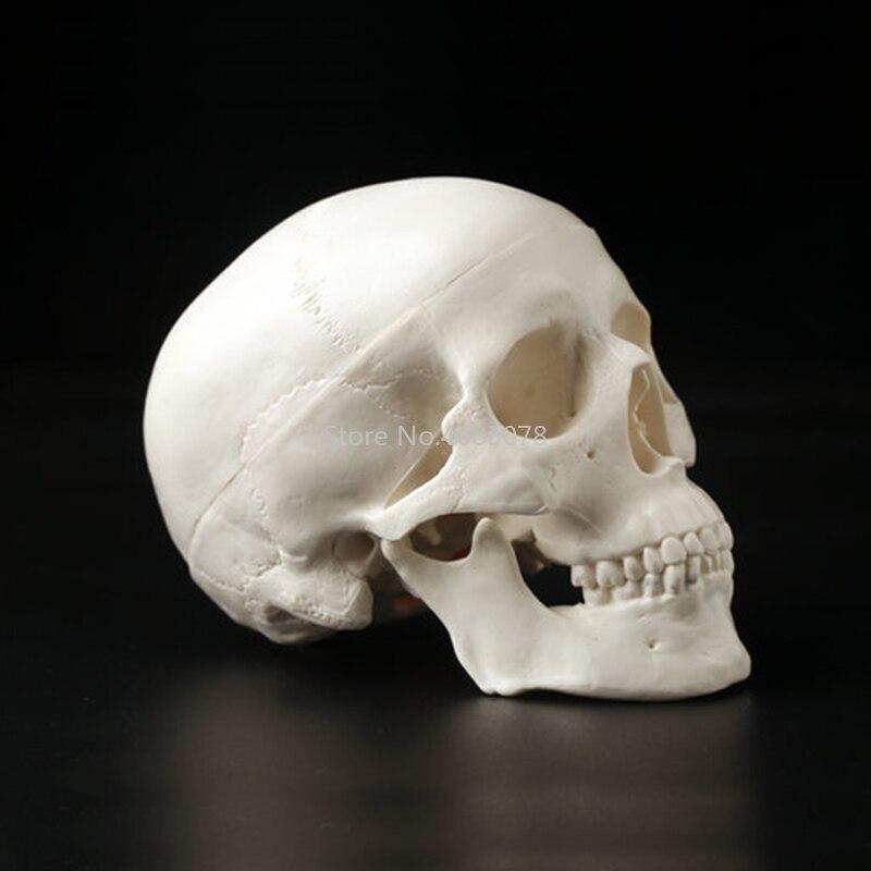 Human Anatomical Anatomy Resin Head Skeleton Skull Teaching Model Detachable School Educational Human Head,Skull Model19x15x21cmHuman Anatomical Anatomy Resin Head Skeleton Skull Teaching Model Detachable School Educational Human Head,Skull Model19x15x21cm