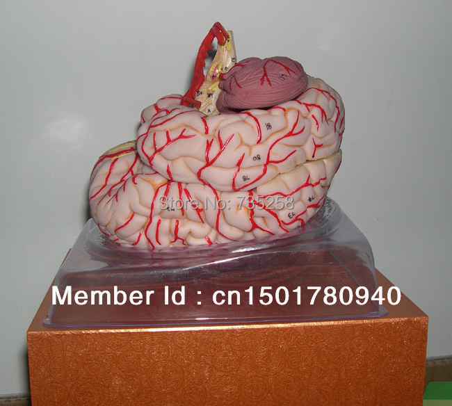 Brain Artery Model,Brain Anatomical Model,Cerebral Artery Dissection Model head and brain artery model iso brain anatomical model head anatomical model