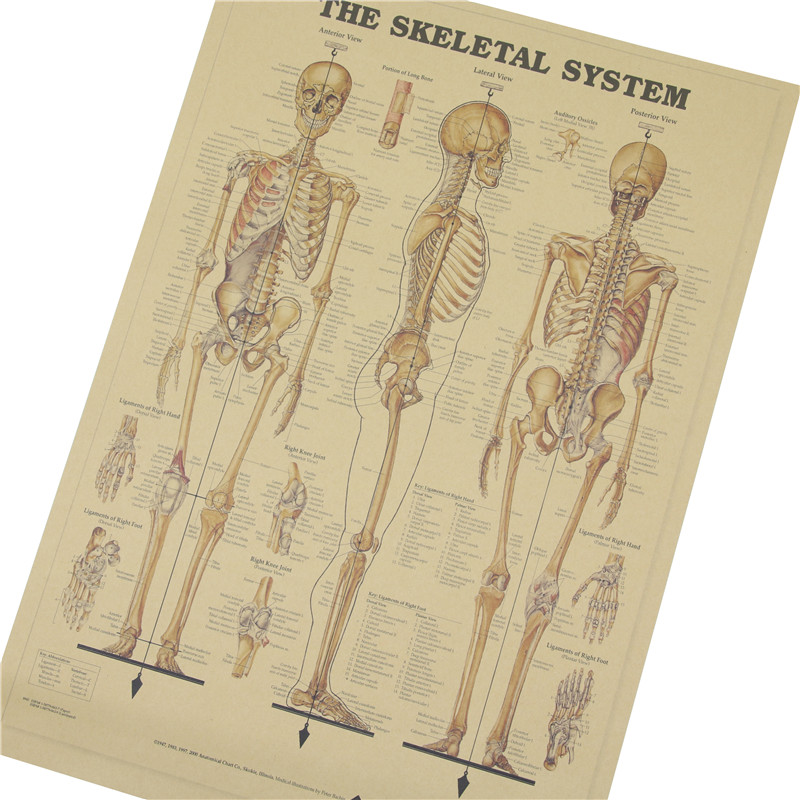 The Skeleton Of The Body Structure Nervous System Poster Bar Home