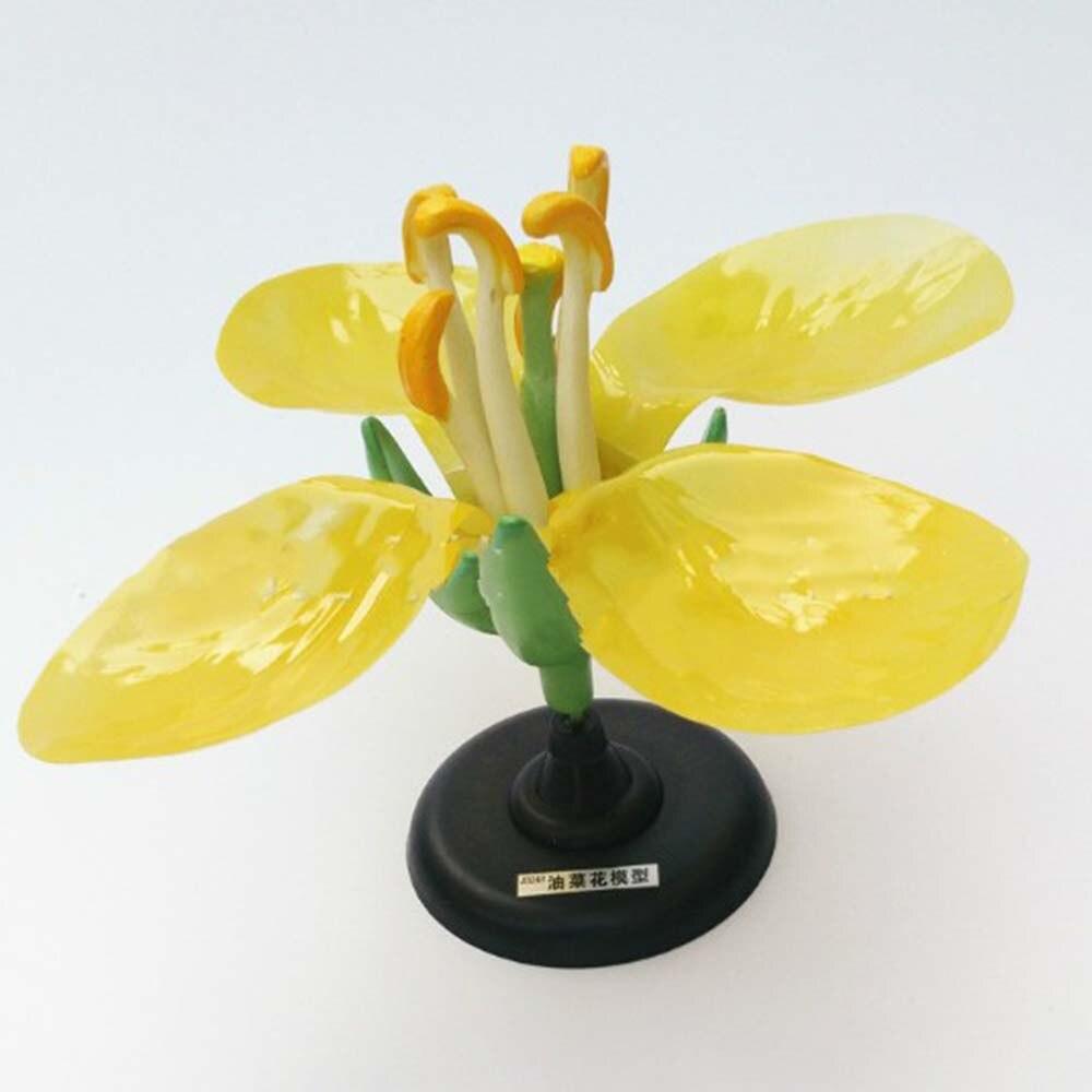 Détachable géant Dicot fleur crucifère colza fleur modèle anatomie plante modèle anatomique biologie enseignement expérience équipement