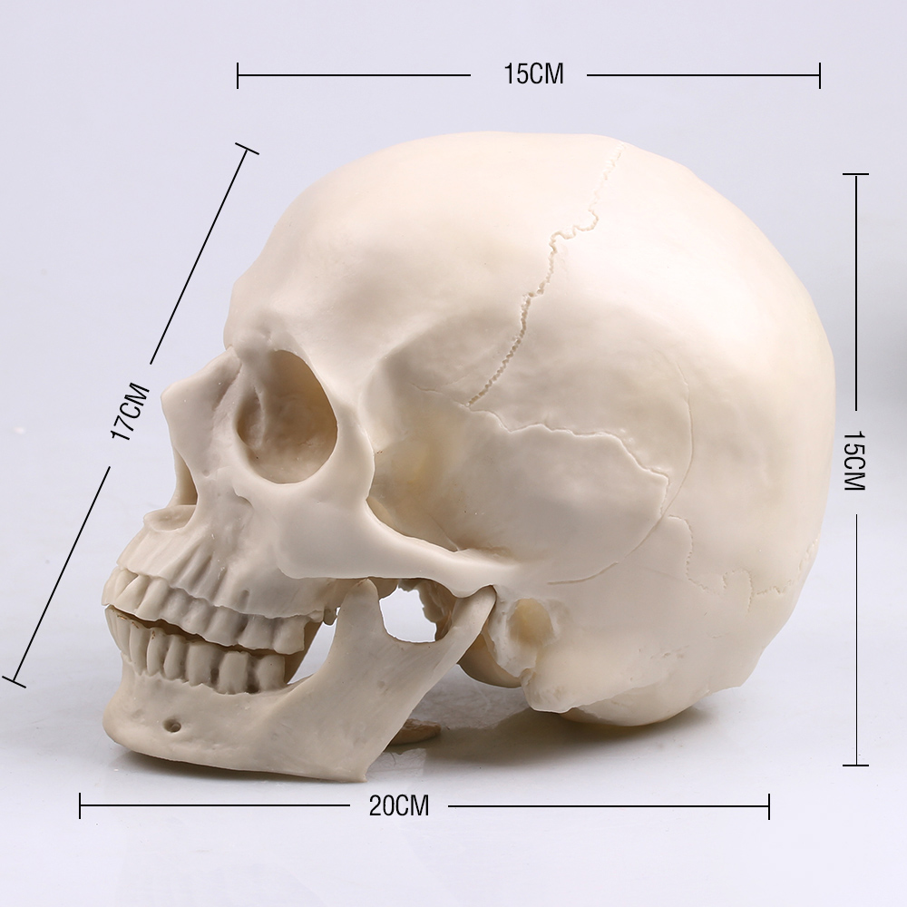 P-Flame 1: 1 Resin Skull Sculpture Education ja maalaus omistettu lääketieteellinen malli Realistic Lifesize Home Decoration Accessories