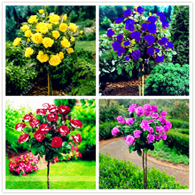 100pcs/bag rose tree,rose seeds bonsai flower seeds Exotic seeds Garden Decor potted plant for home garden(China)
