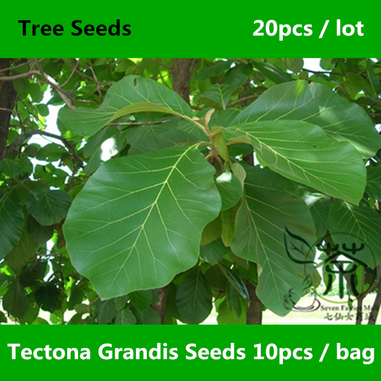 ^^Deciduous Tree Tectona Grandis ^^^^ 20pcs, Family Lamiaceae Precious C.P.Teak ^^^^, Ornamental Plant You Mu Nagpur Teak ^^^^