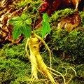 Embalagem Original 6 Sementes/Pack, ervas ginseng, as sementes de ginseng, crescer a sua própria erva raiz de ginseng sementes