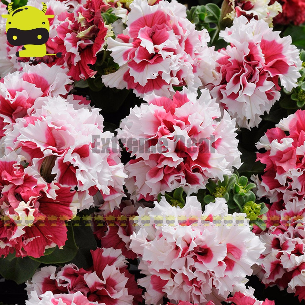 Cascade Duet Red And White Flower Garden Petunia Seeds 200 Seeds