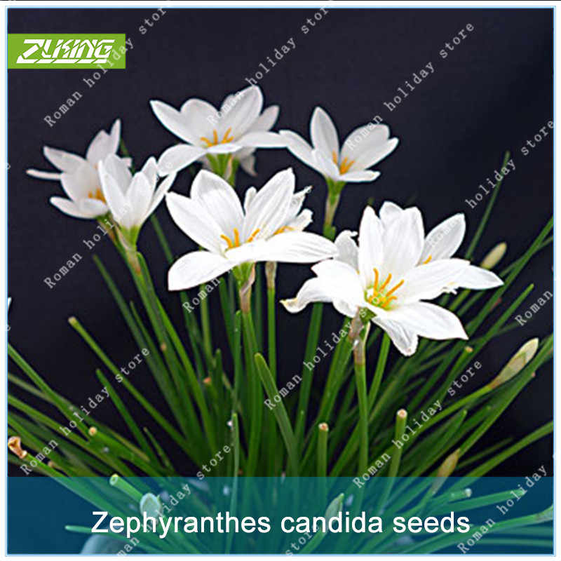 Detail Feedback Questions About Zlking 100 Pcs White Chinese Zephyr
