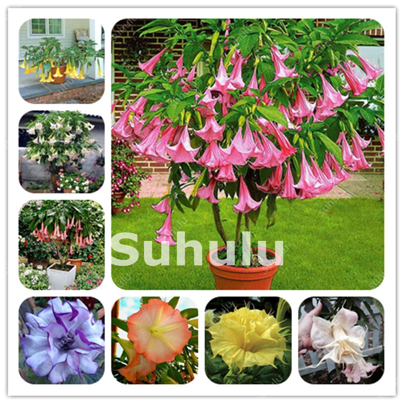 Datura Flower Dwarf Pots Mixed Garden Decor Plant Angel's Trumpets Bonsai Free Shipping Medicinal And Ornamental Value 120 Pcs