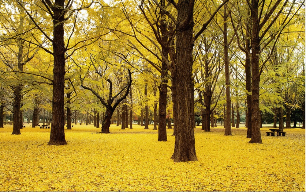 Free shipping,Fall Ginkgo Trees Autumn Japan,Poster HD HOME WALL ...