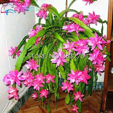 100-para-torba-nopalxochia-tohumlar-nadir-orkide-kakts-saks-bitkileri-tohum-tam-variety-bahe-bonsai-