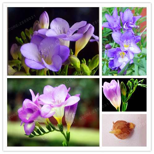 ⊹2 Bulbs True Freesia Bulbs Indoor Potted Flowers Orchids,Floral ...