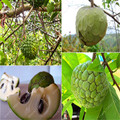 20 pcs Soursop Graviola, Annona Muricata,Professional Packing,Heirloom Fruit Seeds,Tropical Fruit NO-GMO good for health