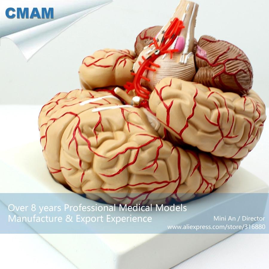 12404 / CMAM-BRAIN07 Life Size Human Brain with Arteries Model,  Medical Science Educational Teaching Anatomical Models12404 / CMAM-BRAIN07 Life Size Human Brain with Arteries Model,  Medical Science Educational Teaching Anatomical Models