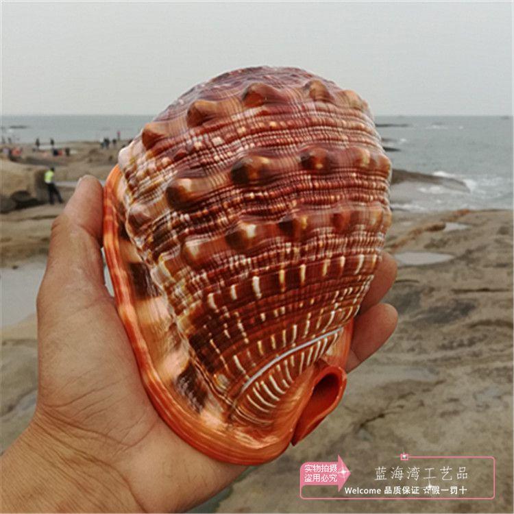 Naturel conque Shell Collection cadeau décoration de la maison affichage créatif méditerranée spécimens mer escargot Micro-paysage ornements