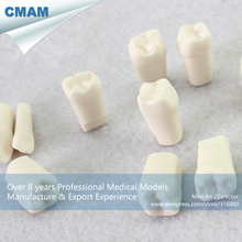 CMAM-TOOTH03 NISSIN 500 Compatible Screwed Permanent Tooth ,  Medical Science Educational Teaching Anatomical Models