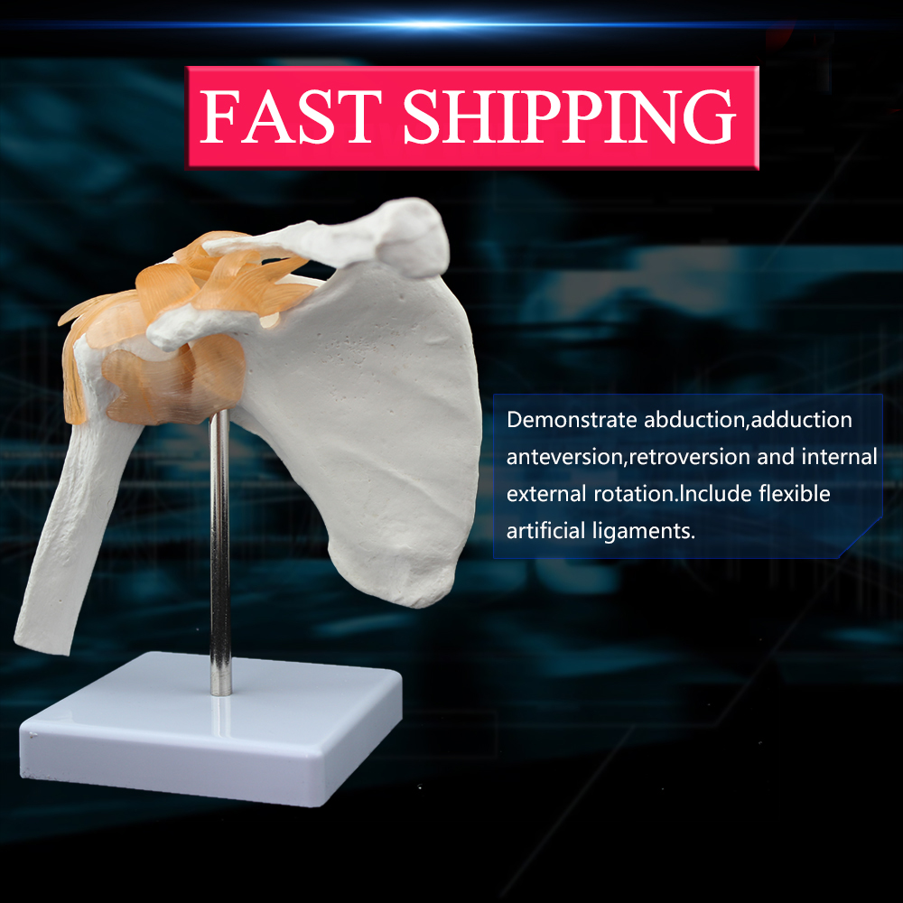medical science subject and human anatomical simulation skeleton model Life size Shoulder Joint model