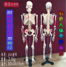 цена wholesale Colorful human with muscle starting ending point neurology teaching model 85cm bone medicine body mannequins 1PC C005 онлайн в 2017 году