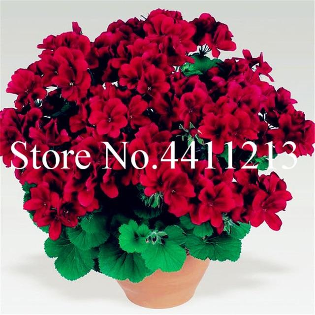 Vendita calda! 100 pz Bonsai Geranio giardino di Fiori Perenni flores Pelargonium Peltatum in vaso di Fiori di geranio pianta bonsai plantas