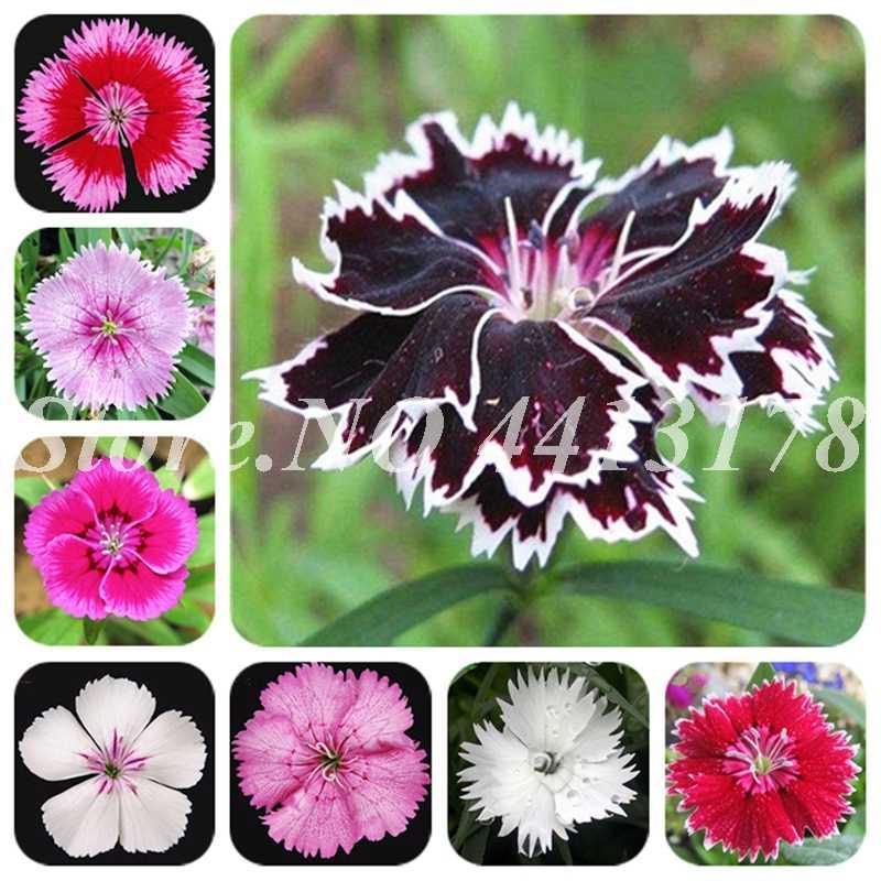 100 Exotic pçs/saco Cravo Multicoloridos Dianthus Caryophyllus Bonsai Varanda Flor Perene para Casa e Jardim Pote Plantador
