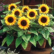 30 Pcs Mini Sunflower Bonsai Flower, Rare Color Indoor Flower Plant for Home Garden Ornamental Plants a