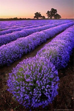 100pcs lavender bonsai,french lavender,flower plants,Very fragrant,Natural growth,home garden