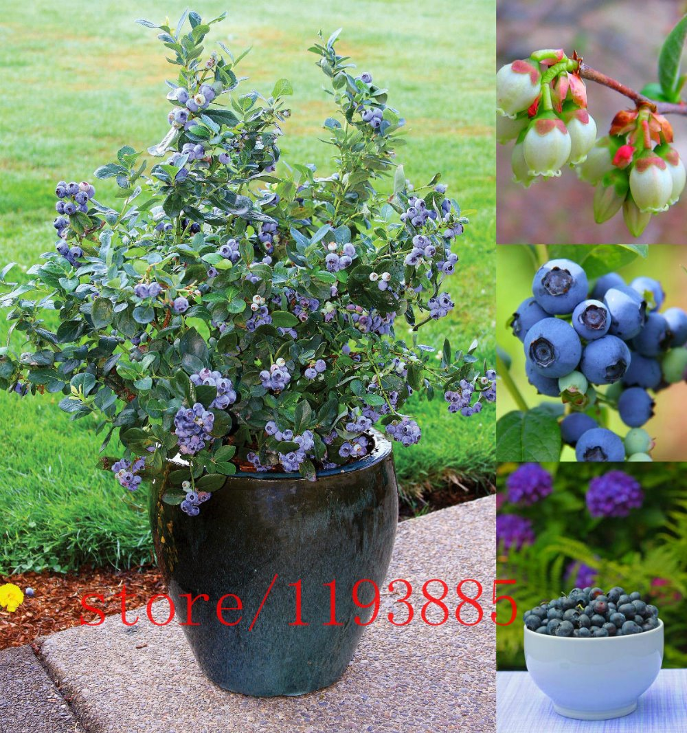 200 pcs blueberry tree seed fruit blueberry seed potted bonsai tree