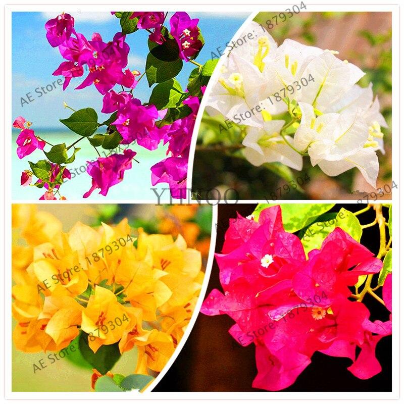 106pcs Mix-color 'Bougainvillea Spectabilis Willd