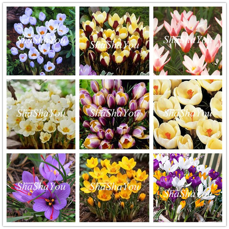 Lovely 100pcs Saffron Flower Bonsai Beautiful Flower Potted Plants Perennial Indoor Bonsai Saffron For Home Garden Plants not Bulbs