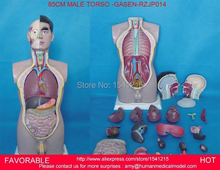 HUMAN TORSO MODEL,MALE TORSO WITH INTERNAL ORGANS 19 PARTS ...