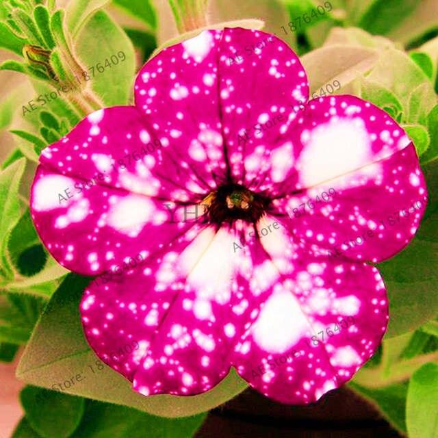 Placeholder 105pcs Rare Flower Flores Petunia Night Sky Plantas Bonsai Plants For