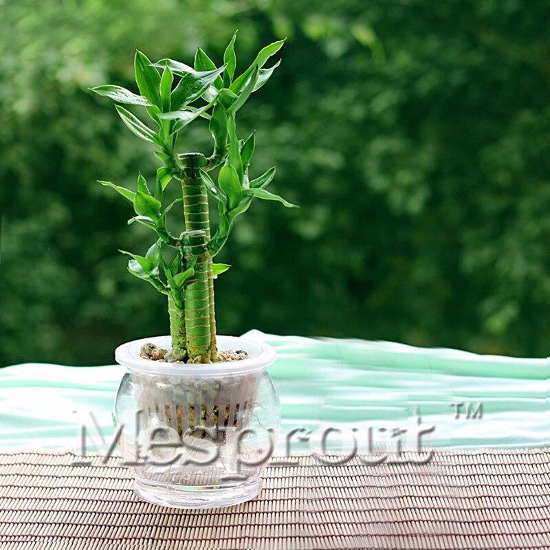 Акция! 30 шт. Lucky Bamboo 6 видов можно выбрать горшках семена разнообразие полное драцена семена начинающего скорость 95% мне #1647