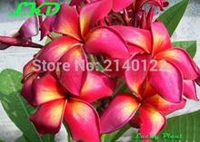 7-15inch Rooted Plumeria Rubra Plant Thailand Rare Real Frangipani Plants no154-mango-brush-2