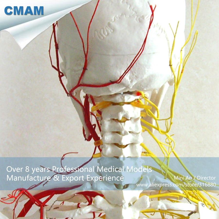 CMAM-SKELETON02 Human Skeleton 170CM Skeletal Neurovascular Model ,  Medical Science Educational Teaching Anatomical Models cmam vertebra02 human cervical vertebral column deluxe skeleton model medical science educational teaching anatomical models