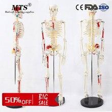 лучшая цена 85CM human PVC skeleton model with Neuro muscular system skeleton medical teaching model