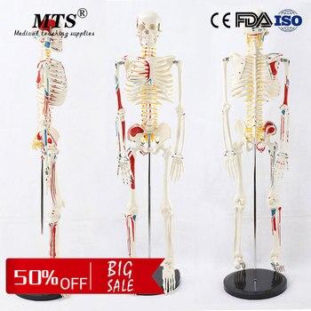 85CM human PVC skeleton model with Neuro muscular system skeleton medical teaching model