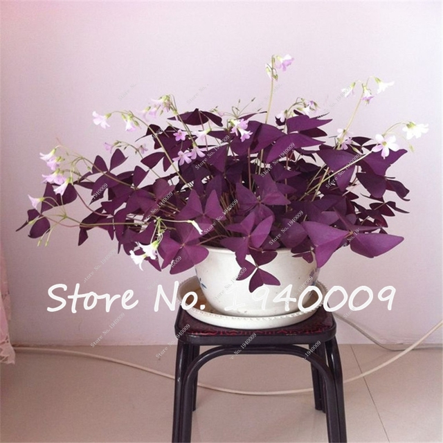Hot Sale Bonsai Clover Seed Family Indoor Flower Seeds Easy To